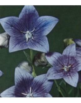 Platycodon grandiflorus 'Fuji Blue' - modri zvončnik