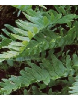 Polypodium vulgare - sladka koreninica