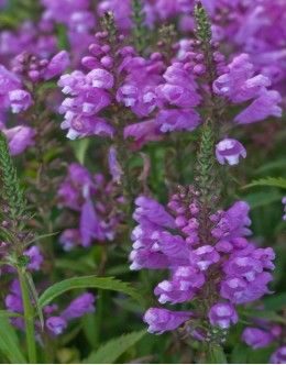 Physostegia virginiana 'Bouquet Rose' - fizostegia