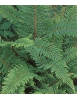 Polystichum setiferum - podlesnica, sorte (večji lonec)