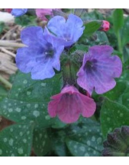 Pulmonaria officinalis – pljučnik