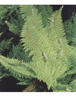 Polystichum setiferum 'Plumoso-densum' - podlesnica