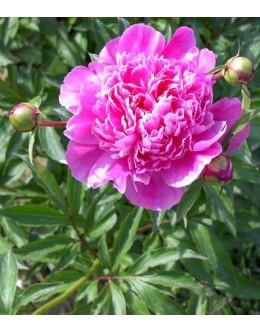 Paeonia x officinalis 'Rosea Plena' - potonika (večji lonec)