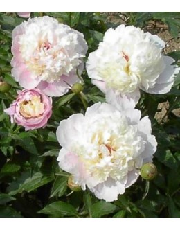 Paeonia x officinalis 'Semi Plena' - potonka (večji lonec)