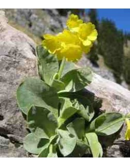 Primula auricula (alpina) - avrikelj