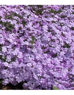 Phlox douglasii 'Lilac Cloud' - nizka plamenka
