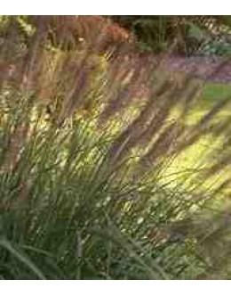 Pennisetum alopecuroides var. viridescens - perjanka