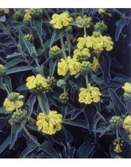 Phlomis fruticosa - sivo kosmato listje (zimska zaščita), flomis, jeruzalemski žajbelj