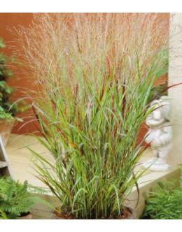 Panicum virgatum 'Shenandoach' - jeseni purpurvijola, proso