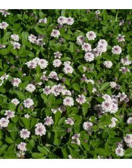 Phyla nodiflora var. rosea - trpežna in raščava pokrovnica, zelo medi