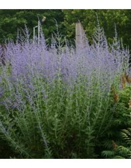Perovskia atriciplifolia - perovskija, ruski žajbelj