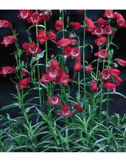 Penstemon mexicale 'Sunburst Ruby' - rdeči penstemon