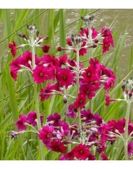 Primula japonica 'Miler's Crimson' - japonska etažna primula