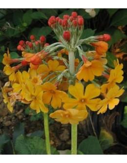 Primula bulleyana - oranžna etažna primula