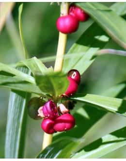 Polygonatum verticillatum - vretenčasrti salomonov pečat, rdeči plodovi