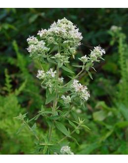 Pycnanthemum pilosum - ameriška gorska meta