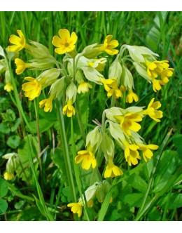 Primula veris (officinalis) - pomladanski jeglič