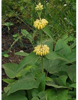 Phlomis russeliana – jeruzalemski žajbelj