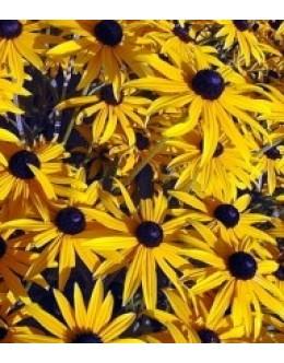 Rudbeckia sullivanti (fulgida) 'Goldsturm' - rudbekija