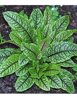 Rumex sanguineus ssp. sanguineus - pisanolistna kislica