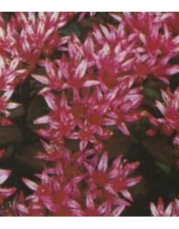 Sedum spurium 'Schorbusser Blut' -rdečelistna homulica