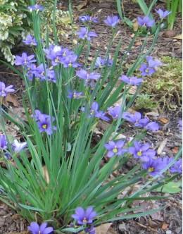 Sisyrinchium angustifolium - modri meček