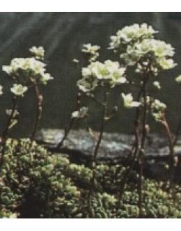 Saxifraga crustata - skorjasti kamnokreč