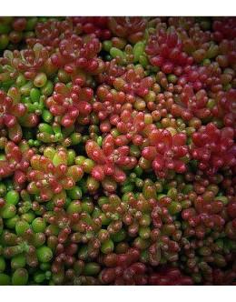 Sedum album 'Coral Carpet' - homulica