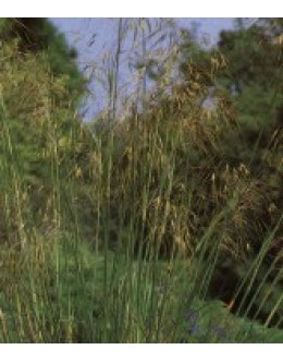 Stipa gigantea - velika bodalica