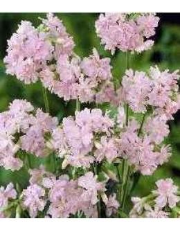 Saponaria officinalis 'Plena' - milnica polnocvetna