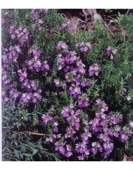 Satureja montana ssp.illyrica (subspicata) - pritlikavi ilirski šetraj
