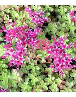 Sedum spurium 'Summer Glory ' - homulica