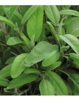 Salvia officinalis - žajbelj, zelo medi