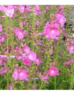 Sidalcea malviflora hy. 'Rosana' - prerijski slez