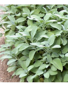 Salvia officinalis 'Maxima' - velikolistni žajbelj