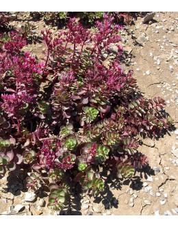 Sedum spurium 'Fulda Glut' - rdečelistna homulica