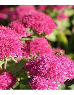 Sedum telephium 'Carl' - rožnata hermelika