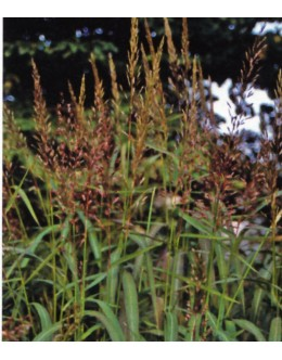 Spodiopogon sibiricus - sibirska trava, jeseni vinsko rdeča, trpežna