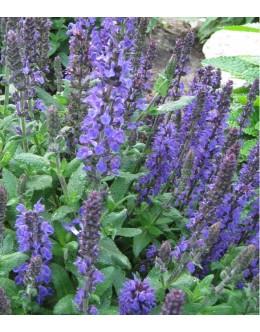 Salvia nemorosa (superba) 'Sensation Medium Blu' - kompaktna kadulja