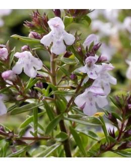 Satureja montana var.citriodora - limonski šetraj