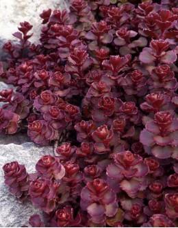 Sedum middendorfianum - homulica