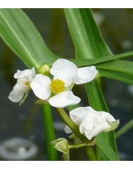 Sagittaria sagittifolia - navadna streluša
