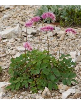 Sanguisorba hakusanensis - strašnica, usločeni cvetni klasi