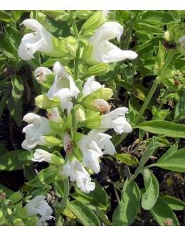 Salvia officinalis f. albiflora - belocvetoči žajbelj
