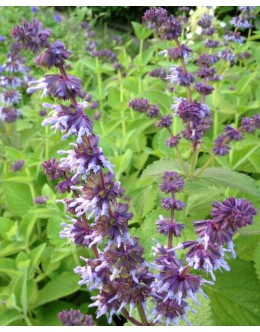 Salvia verticilata- vretenčasta kadula, suhi travniki