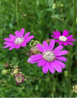 Senecio polyodon - rožnati grint, suhi travniki v Primorju