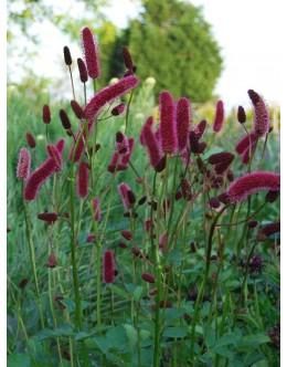 Sanguisorba menziesii - strašnica, črnordeči daljši cvetni klasi