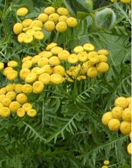 Tanacetum (Chrysanthemum) vulgare - navadni vratič