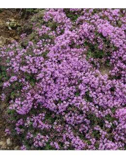 Thymus praecox 'Coccineus' - nizki pokrovni timijan