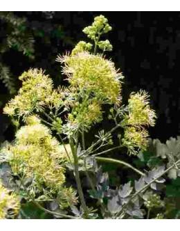 Thalictrum flavum ssp.glaucum - rumeni talin s sivim listjem, vetrovka